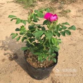 怎样养好盆栽玫瑰花?