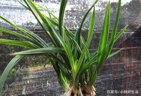 如何养护好兰花的叶片?
