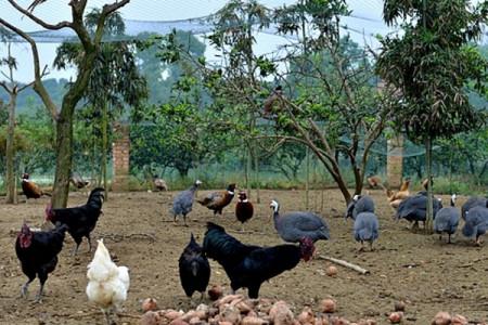 农村的野鸡和土鸡可以混养吗?