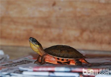 从专业角度分析:金钱龟为什么这么贵?