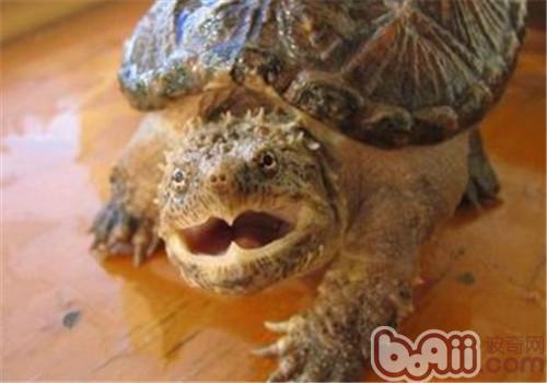 鳄龟不吃东西怎么办?