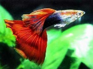 孔雀鱼是什么品种?