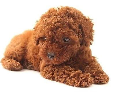 泰迪狗的毛有几种颜色?白色的泰迪狗好看吗?