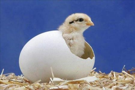 为什么鸡养殖四十天左右就能出笼?