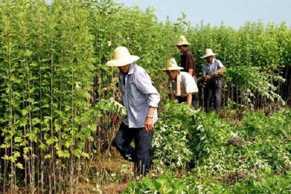 农村自己种的艾叶收割,是连根拔起,还是只割上方的茎叶?