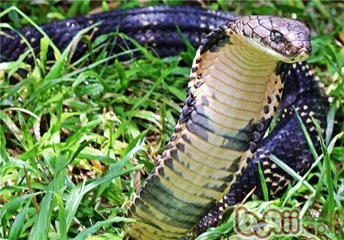 眼镜王蛇的形态特征有哪些?