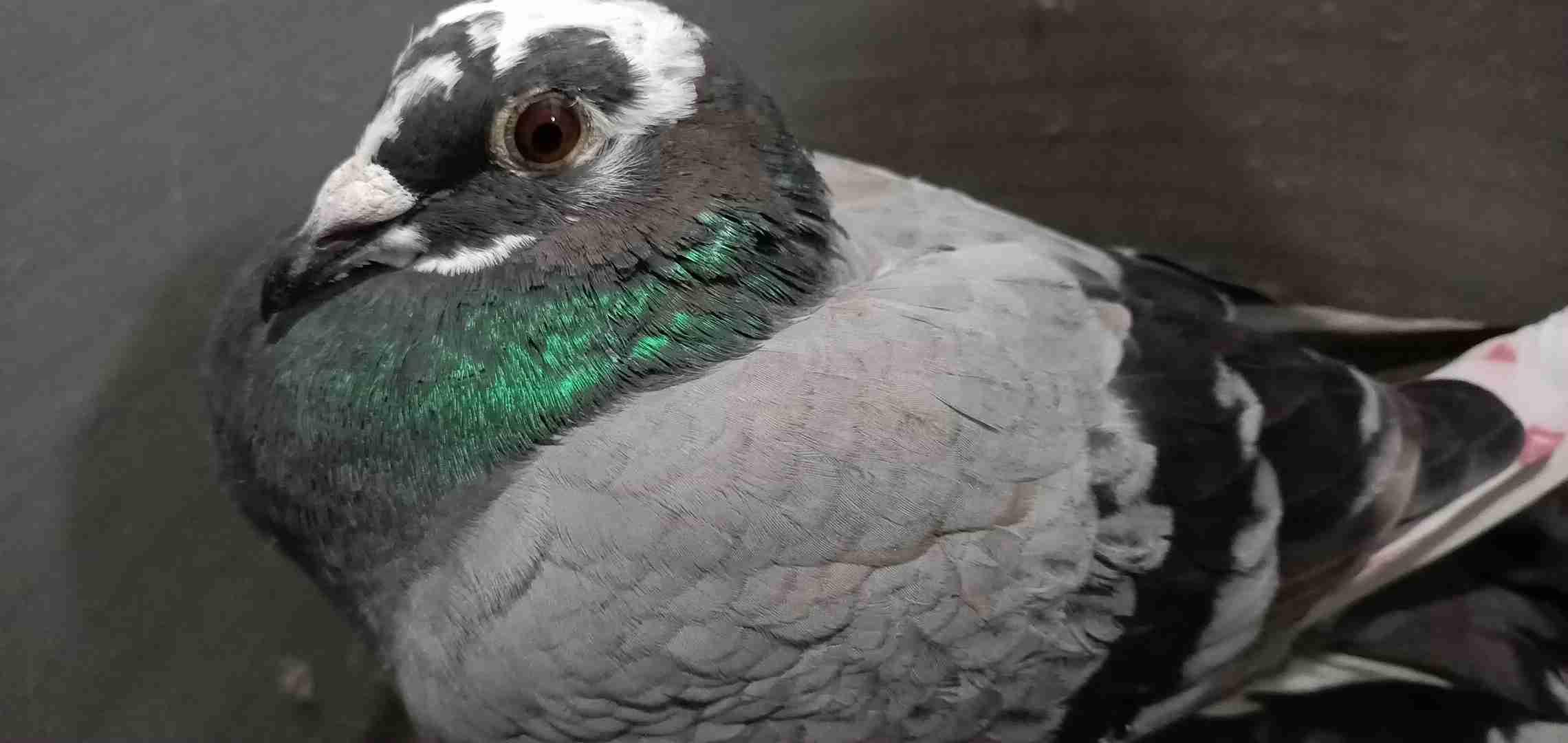 吃鸽子有什么禁忌