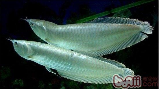 银龙鱼吃什么长得比较快?