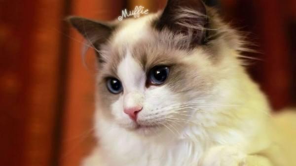 布偶猫为什么那么贵 健康幼猫的特征?