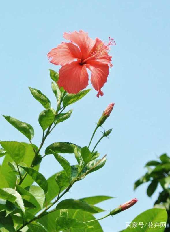 扶桑花掉花蕾,这是什么原因?