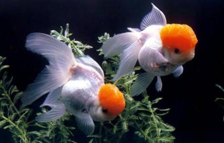 在鱼缸里养金鱼需注意些什么?