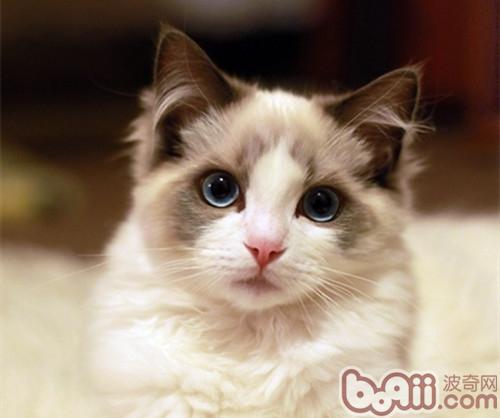 布偶猫的寿命有多久?