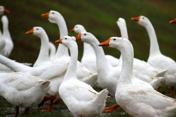 鸡蛋和鸭蛋都是按斤卖的,鹅蛋却是按个卖的,为什么农村养鹅的还那么少?