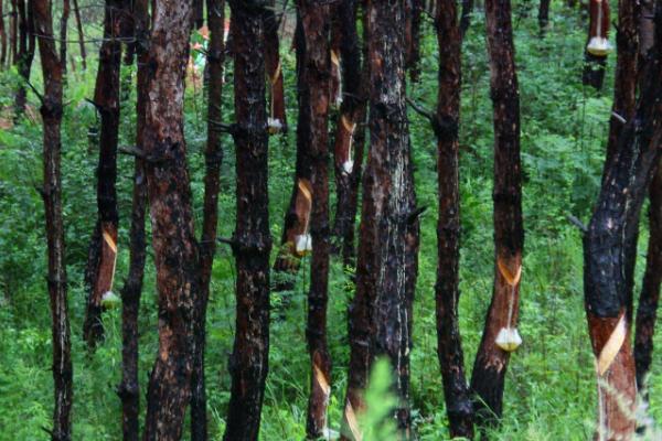 农村山里普通松树可以提取松脂卖钱吗?