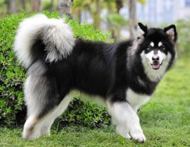 和哈士奇长的很像的狗狗是什么