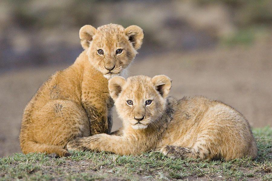 近亲繁殖存在风险,为什么还有很多动物一直近亲交配?