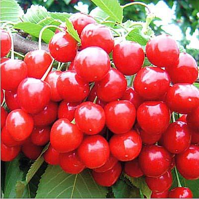 种植什么大樱桃品种好?