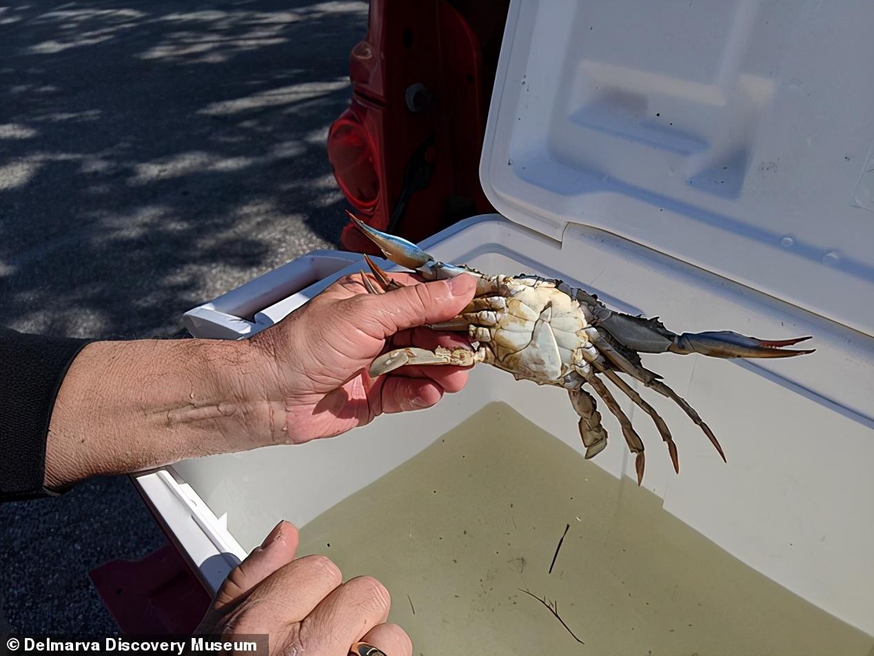 美东海岸发现变异螃蟹,左雌右雄,自己和自己就能完成交配