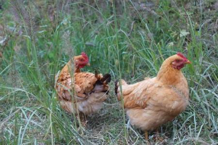 为什么不能长期在一个地方饲养土鸡?