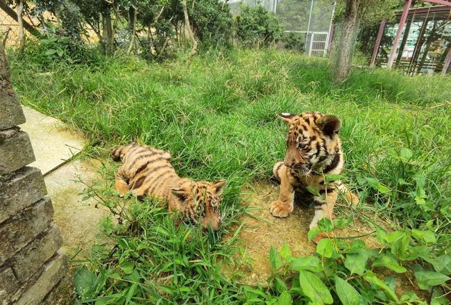 20头华南虎具有猎杀动物能力,何时能重返山林?