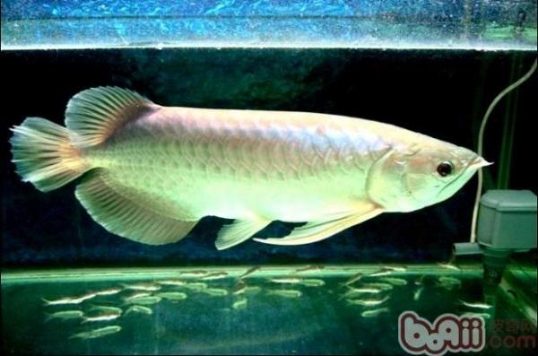 银龙鱼混养品种推荐有哪些?