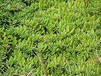 垂盆草的副作用是什么?