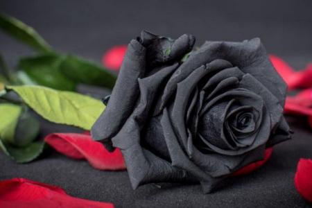 黑玫瑰花,黑玫瑰是什么寓意