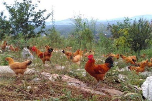 在农村一个人养鸡,养多少只比较好?