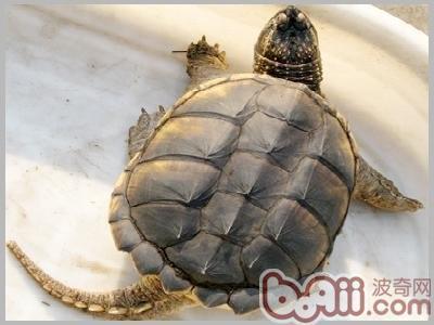 如何分辨鳄鱼龟的雌雄?