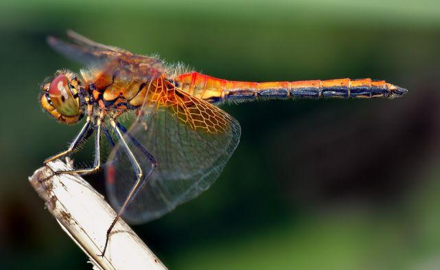 蜻蜓的飞行能力有多强,帮助人类工程师克服哪些飞行难题?