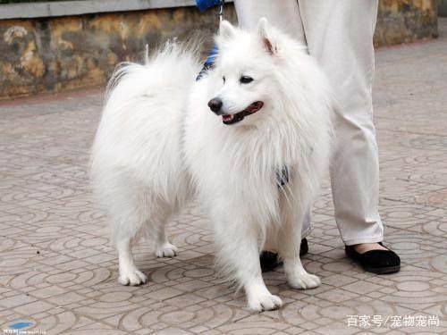 银狐犬好训练吗 银狐犬的训练方法有哪些?