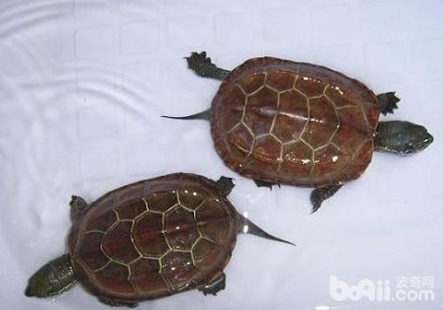 草龟的常见疾病有哪些?
