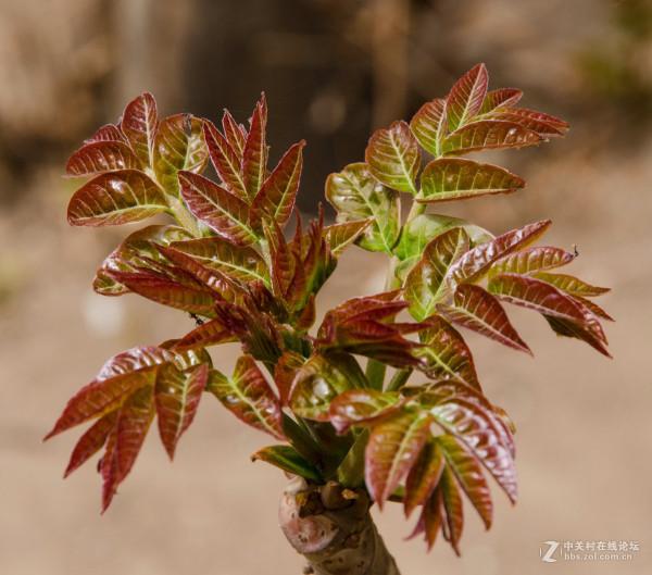 香椿树种子的用途是什么?有何药用价值?