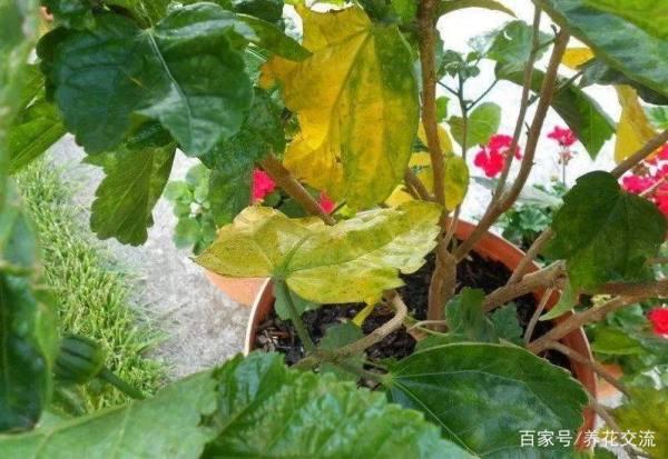 热带扶桑花盆栽叶子不断发黄怎么办?
