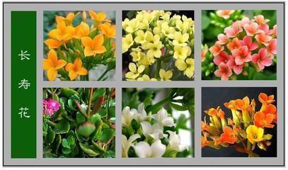 长寿花在室内如何种养呢?