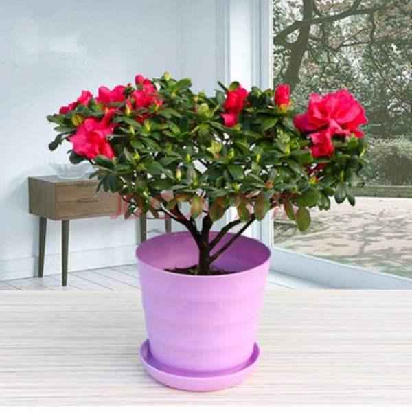 杜鹃花盆栽如何扦插 扦插杜鹃花的方法?