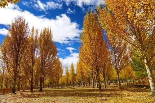 现在农村为什么不让种植杨树了?