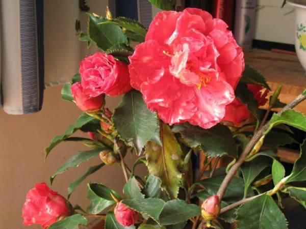 怎样让,快枯萎的茶花,黄叶变绿,快速开花?