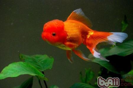 金鱼闷缸会有什么表现?