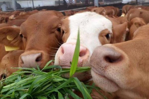养猪一头赚上千块,养牛一头赚5000块,到底养哪种好?
