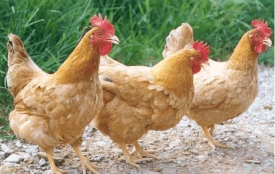 为何别人做的白切鸡又黄又有食欲,自己做的又白又难吃?
