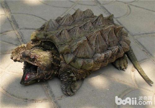巴西龟咬人吗?被巴西龟咬伤该如何处理?