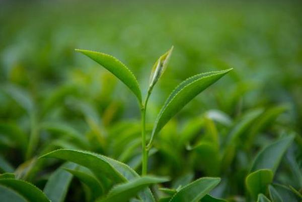 台湾的什么茶叶有名?