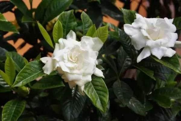 栀子花怎么养才能开出喷香的花朵,方法很简单?