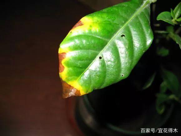 栀子盆栽为何叶片发黄、掉蕾或不开花?