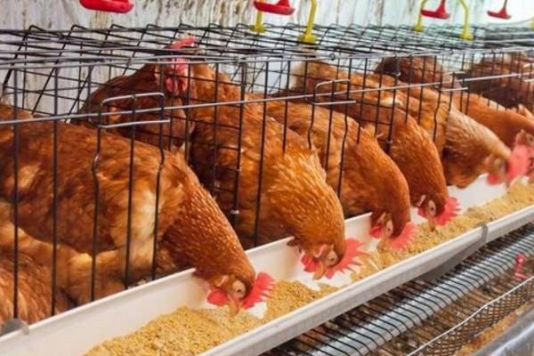 霉菌严重影响着养鸡生产,该怎么对它进行防治?