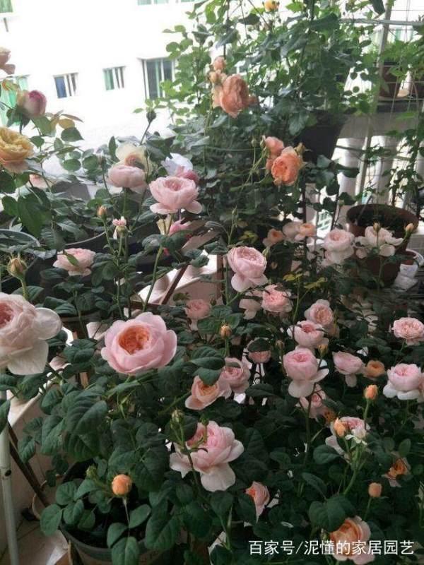 月季开花少怎么办,不如试下这个办法,轻松爆盆开花?