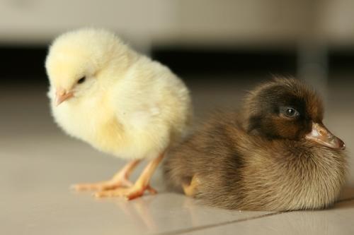 """在老家,为什么""""养鸡""""的人比""""养鸭""""的多?"""