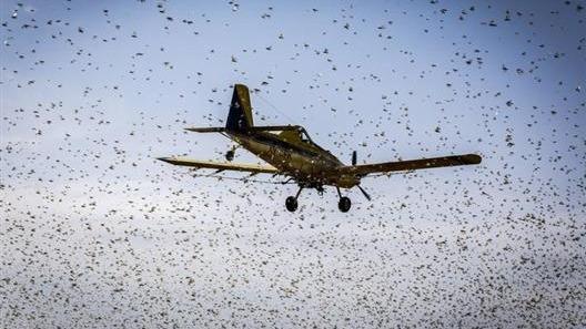 非洲蝗灾继续扩大吗?FAO官员称:虫群增百倍,3月形成新威胁!