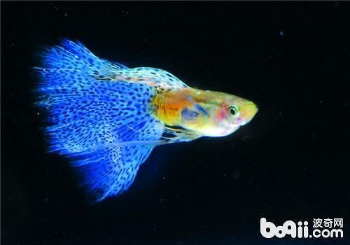 怎么繁殖孔雀鱼改良品种?